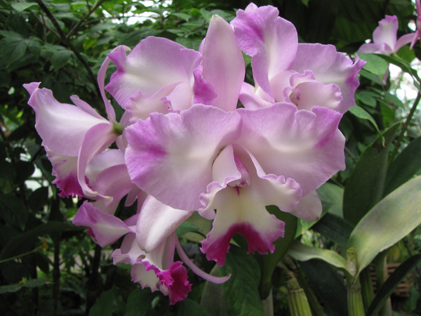 orchid-cattleya-rose-colored-white